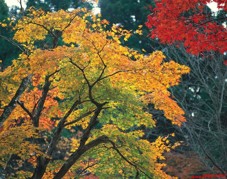 关于秋天的话题,虽然这个秋天的红枫火红着鲜艳色彩的时候,正是我来到这个世界的日子,可是,每当秋天来临,放眼满目枯草与黄叶飞扬在几点红枫吐艳的山林,于是,一阵又一阵悲怆的感觉,便如潮水般涌上心头。我的秋天情结,也不知是起于什么样的因缘,总是凝结着沉甸甸的愁雨凄风与婉转不已的感伤情怀。    想像那个晚秋的一个寒风剌骨的子夜,我作为一个叫作人的生命体,毫无任何知觉而且毫无任何准备地,就来到了这个世界的一个地方的一户人家;我也不知我临近投胎的时刻,可能的另外一种形式存在着的生命体,是否欣然同意我作为一个人来到
