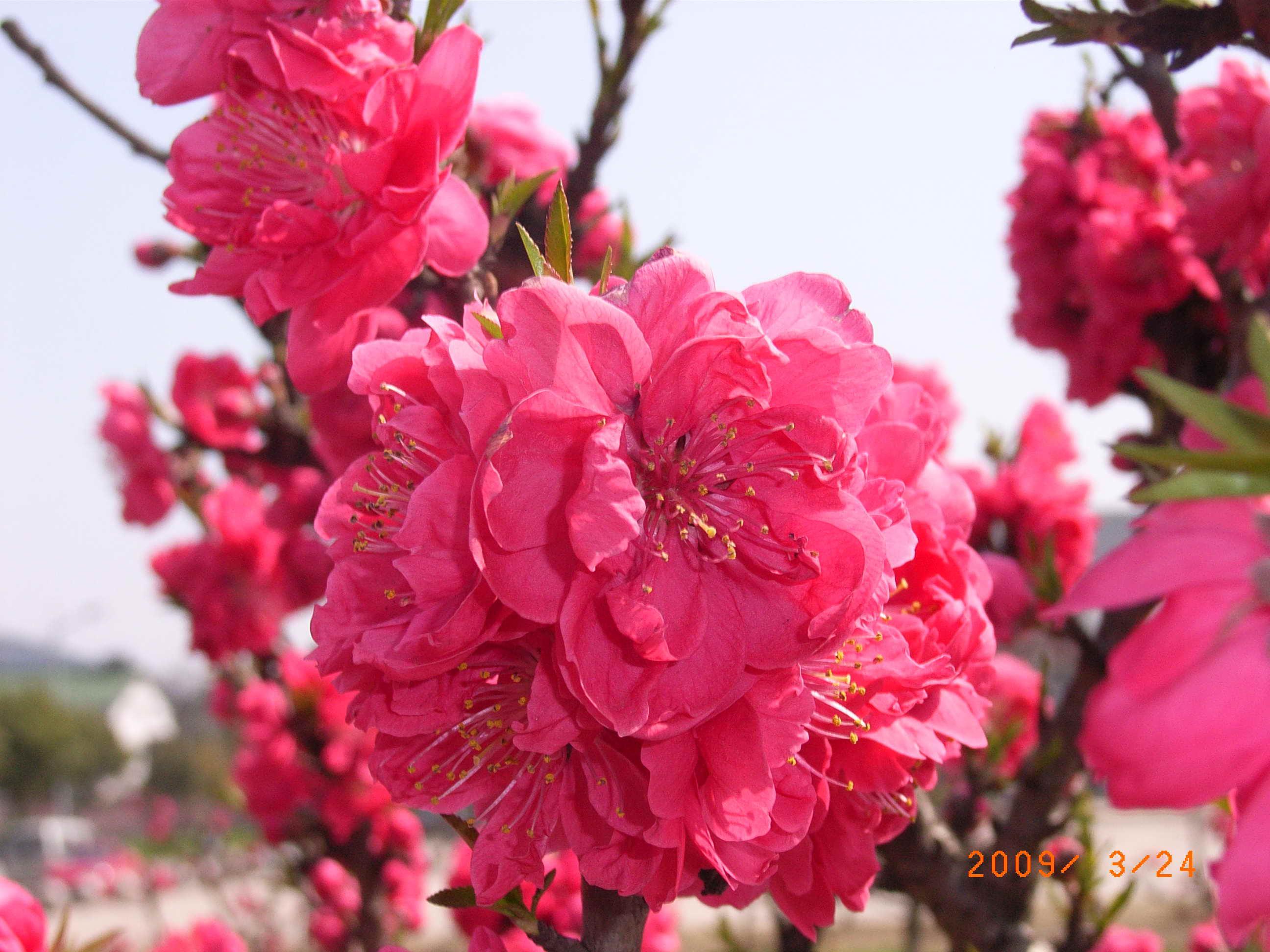 """每一朵花都是动人的,正如梅尧臣的诗一样,""""野鸟眠岸有闲意,老树着花无"""