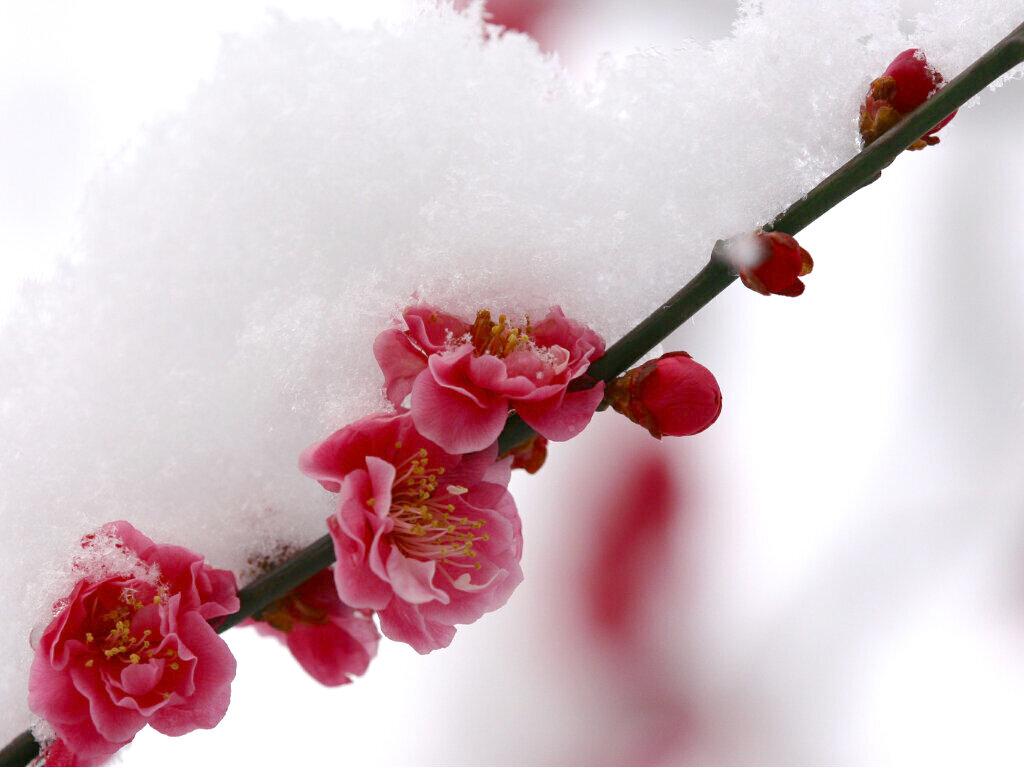 我在梅雪弥香的陌上静静守望【原创散文】 - 高天流云 - 高天流云的博客