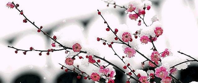 冬天梅花雪景画图片大全