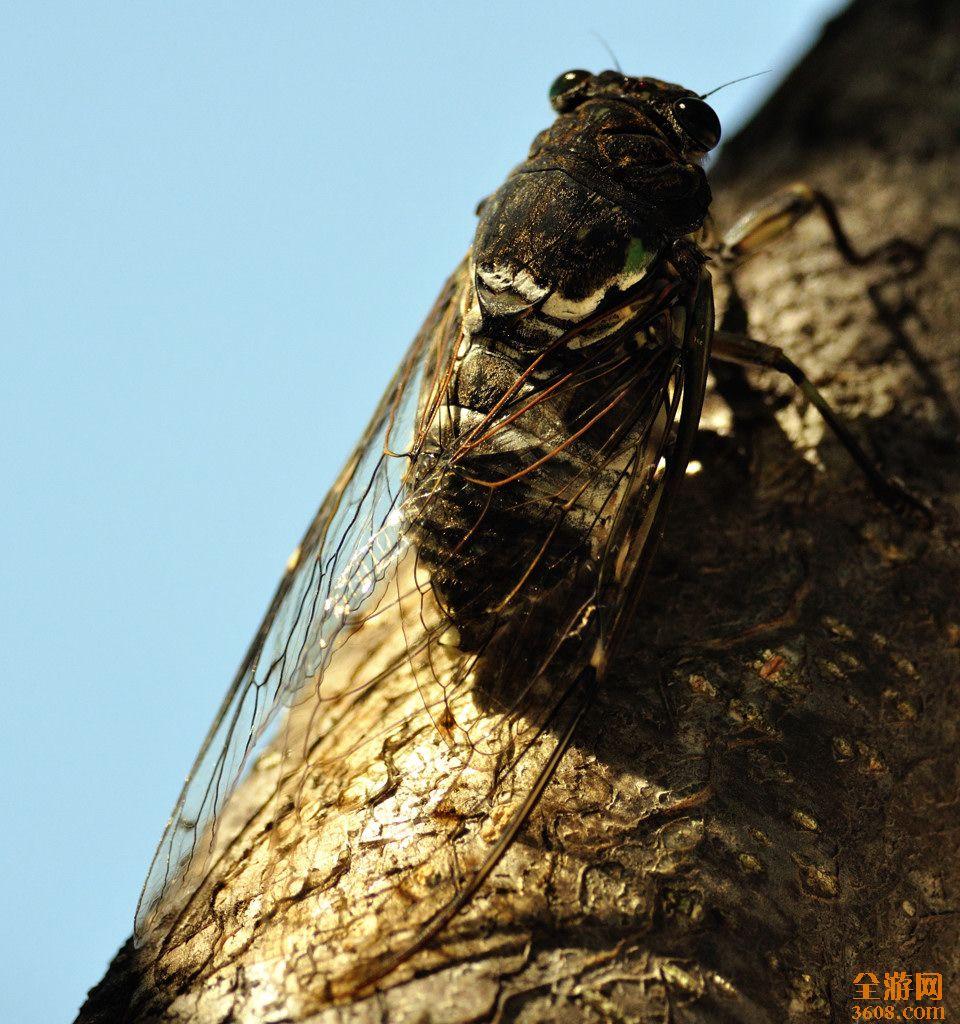蝉,这种貌不惊人的小动物,无论在城市还是农村,只要是有树