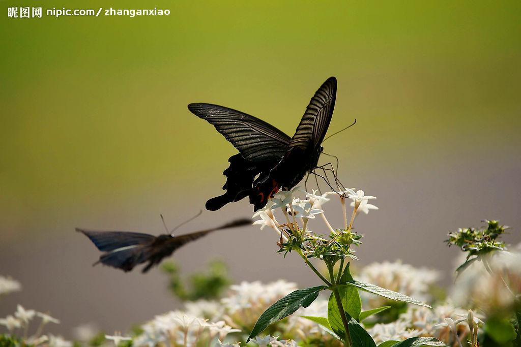 我敢说,一定只有我一个人发现了这个地方,我管它叫做花径,因为,虽然已经到了万物凋残的秋天,可是这里,依然开放着五彩缤纷的秋花。没有人知道这个世外桃源,只有我知道,除了我以外,知道这个秘密的,就只有那些蝴蝶、蜜蜂之类的小精灵了。    我看见,有一只黑蝴蝶在花丛中飞舞,在郁郁葱葱的松树林中,在五彩缤纷的百日草中,在金黄的小雏菊中,在娇艳的一串红中,飞舞,恣意地飞舞,显得另类,而又神秘。    我从来都没有想到过,我会亲眼看见一只黑蝴蝶,它是蝴蝶家族的张飞吗,又或者是李逵?看它近乎癫狂地上下翻腾,我完全有理