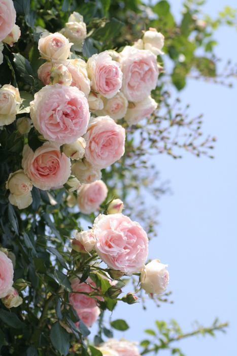 天啊,我可爱的蔷薇花,竟然开了.