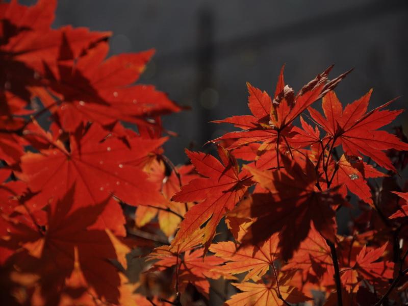 秋天树叶变红的原因