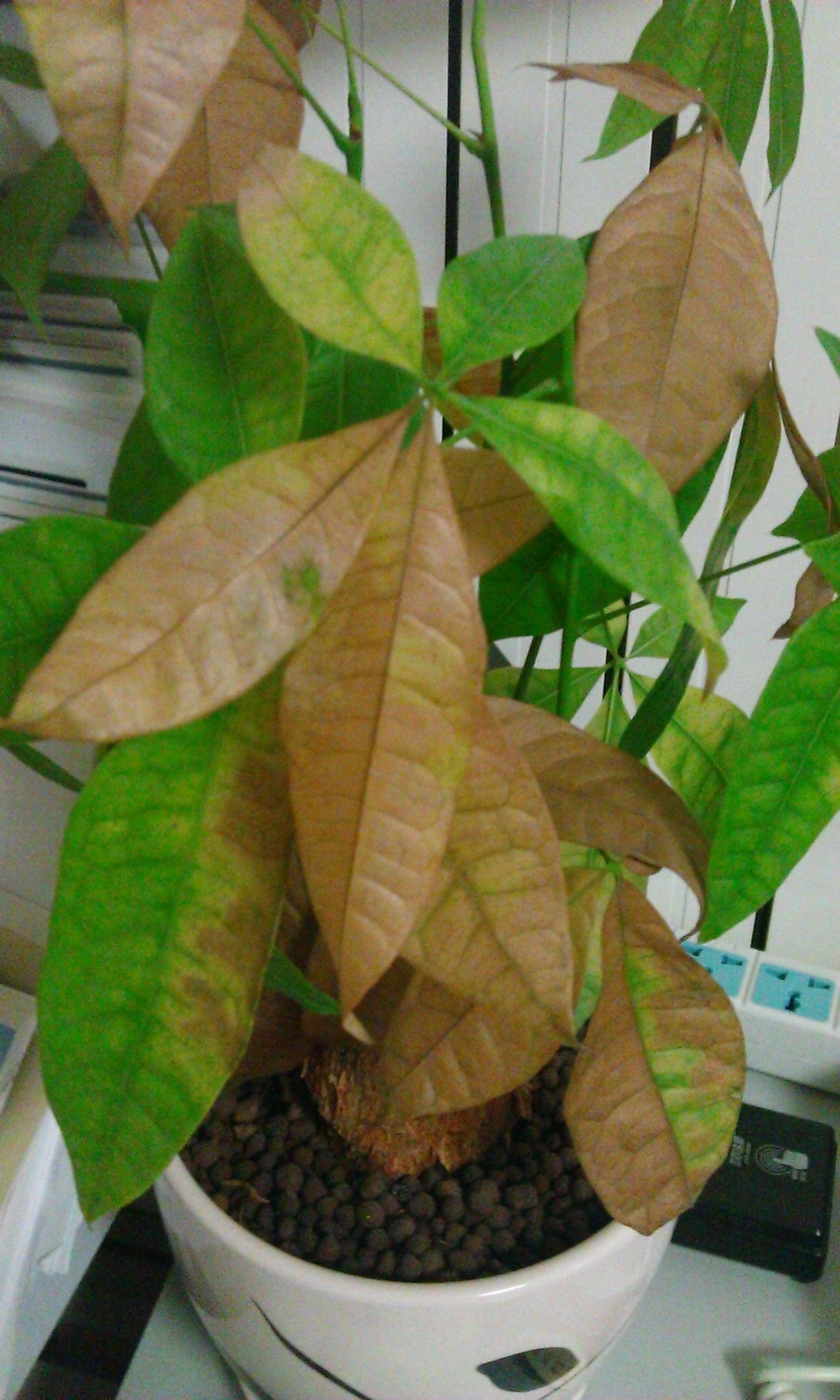 """最喜那盆""""招财树"""",其实它就是一棵小树,绿油油的叶子亮生生的,经图片"""
