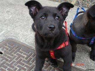 我二叔养了一条黑狗,毛色光亮油滑的像一块缎子.图片图片