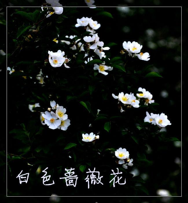 第一夜蔷薇第二部20_蔷薇花; 一朵白蔷薇读后感&蔷薇香——读明晓溪《第一夜的蔷薇1》
