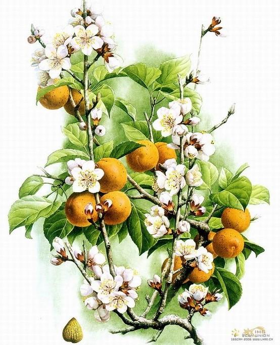 【流年】关于杏树的想念(散文诗)