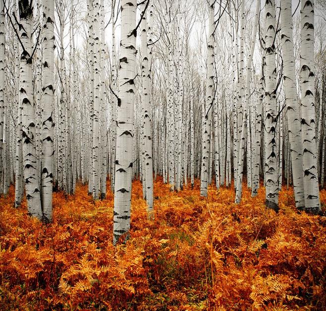 【流年】静静的白桦林(散文) ——与纷飞的雪同题