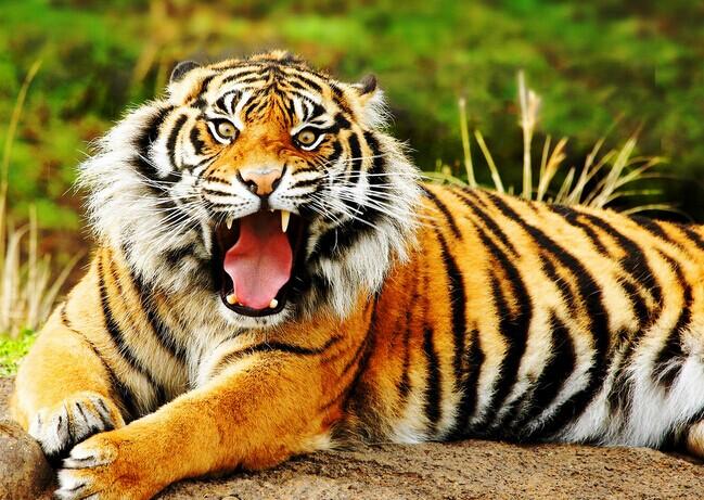 在中国的成语中有许多和老虎有关的词汇;狐假虎威、照猫画虎、调虎离山、狼吞虎咽、龙吟虎啸、生龙活虎、如虎添翼、虎视眈眈、谈虎色变,不入虎穴,焉得虎子在天干地支的排列中寅的序列为第三,与之对应的则是十二生肖中的虎,所以就有了寅虎之说。而在现实的生活中人对于老虎还有其它的称谓;山猫、山尊、山君、山神、大虫等等称谓。    除了有关老虎的成语外,在北京还有许多和老虎有关的地名;老虎庙、老虎洞、大小黑虎胡同、清河镇的石虎胡同、朝阳区的花虎沟、昌平县的虎峪,石景山的虎头山、密云县的卧虎沟、京西香山南麓的老虎嘴。风