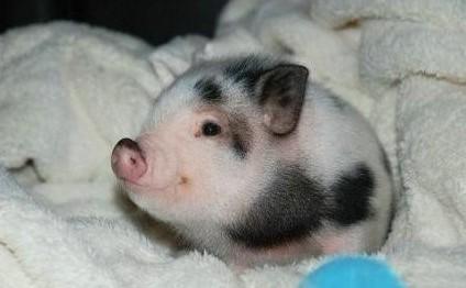 >> 【梧桐小说】猪语(微小说)     某年,得一小猪,乃自家种猪所生.