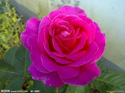刺玫瑰手绘花边