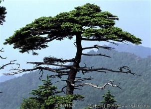 我——一棵松树的遭遇(记叙文)