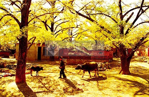 2000年2月,妥乐古银杏风景区报经贵州省人民政府批准公布为省级风景