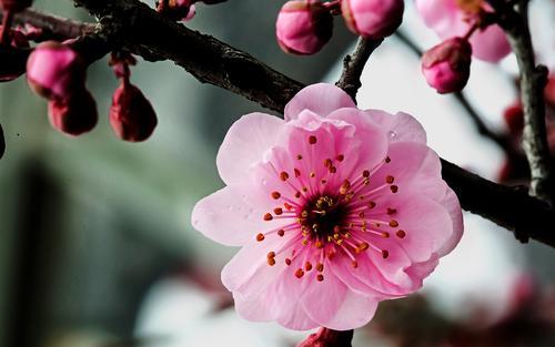【八一】白梅缘(散文·家园)