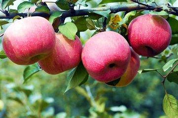 地的苹果树苗历经磨难终于成长起来了,我很高兴,因为它们和我一样年轻