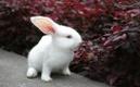 聪明的小白兔(童话)