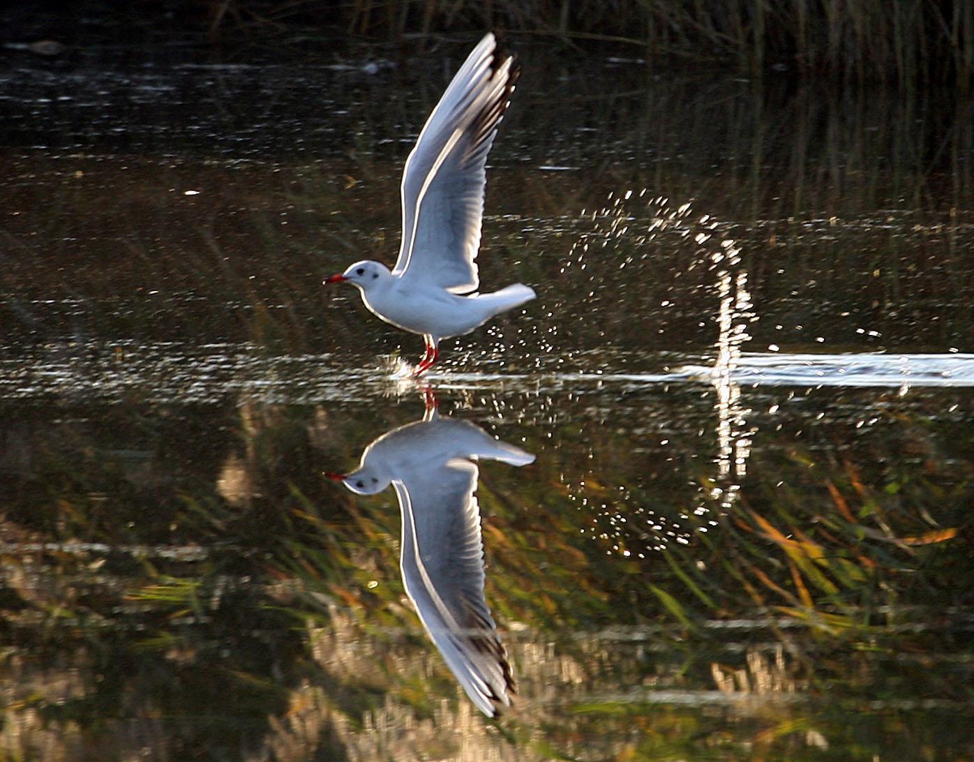 晴天日暖还,老弱病残的红嘴鸥难以离去,形单影只,静静地守护海鸥老人曾经驰骋的道场,回不去海边繁衍生息,报恩祖辈,便用余生报答春城的知遇之恩,等待冬季群体归来。它们飞行累了,会俯下身奚落入水中,心无旁骛地荡来荡去,宛若修炼千年的白衣仙子,守护着修行千年的道场。    题记    红嘴鸥极其可爱,拥有一身洁白的羽毛,有时飞翔在蓝天之上,有时静浮于碧水之巅。缓缓游动,泛起阵阵涟漪,细细微微的,如同身上水波片片的羽毛。飞翔于蓝天之上,眼睛如宝石般晶光闪闪。在探视中,发现一团可口的小面包,便会扑翅奔向它,并