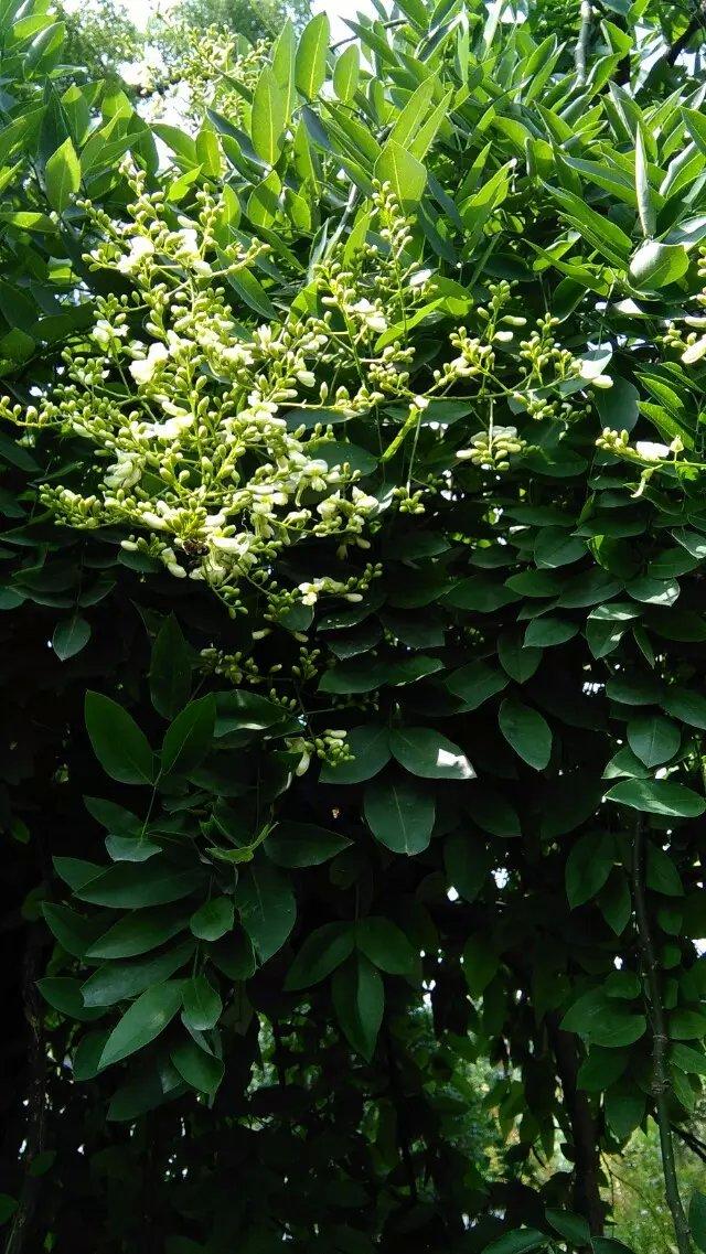 在苏州几年里,很少见到国槐,最多见的就是那些香樟之类的绿化树木。那天却在一个僻静的角落里,意外的看到了一棵枝繁叶茂,郁郁葱葱的槐树。上面已经结满了一串串,一簇簇白中泛着淡绿的小花,那写满记忆的枝丫上,有两只知了,在一唱一和的叫着,它们在用歌声来诠释夏的炎热。在蝉鸣声声里,我的记忆又回到了那个充满着槐香的童年时代    记得从我记事起,我们家就有三棵大树,一棵是粗大的梧桐,我们两个小孩子都合抱不过来,听说是我爷爷年轻时栽的,爷爷说,有了梧桐树,才能引来金凤凰。所以,每年春天,当那一串串粉嘟嘟的梧桐花儿开