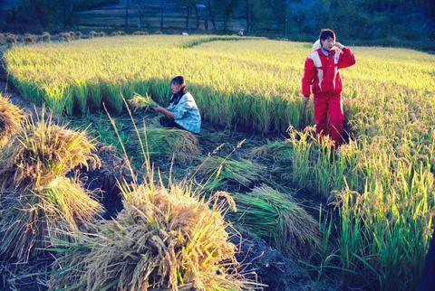 太阳收稻谷的风景的图