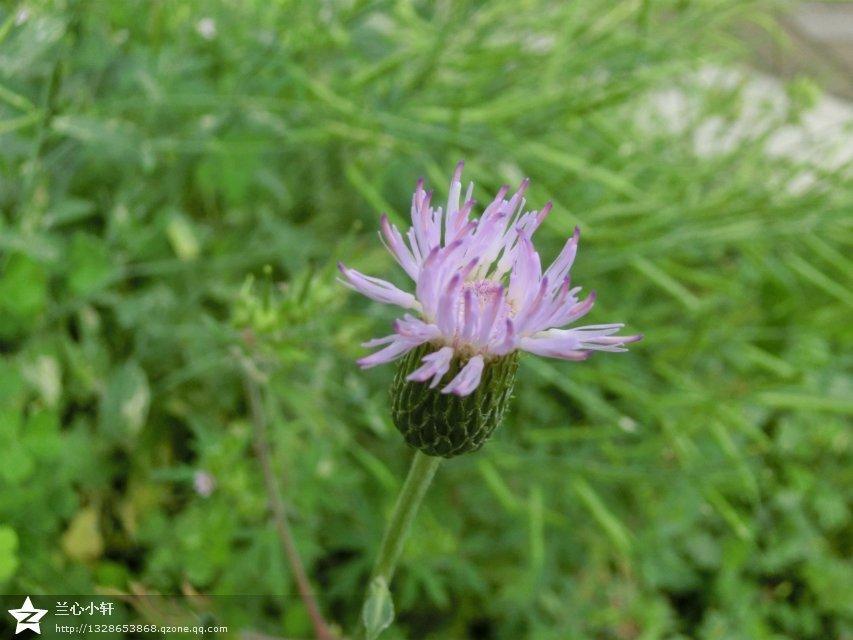 心头掠过一丝喜悦,抬眼望望这些开着紫色花朵的刺刺菜,一如久违的故乡图片