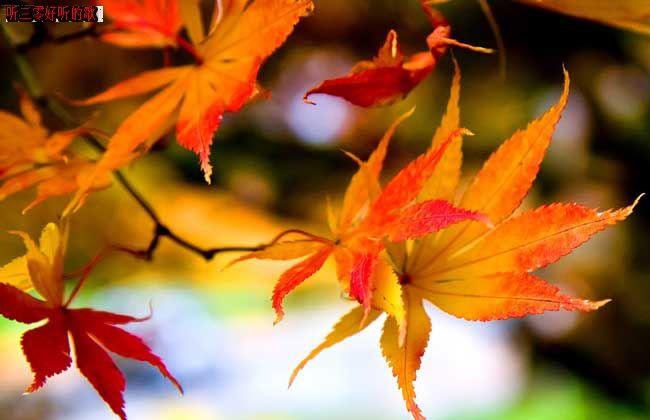 立秋刚过,秋的气息便已悄然入沁,朝露暮夕,凉意爬上了暴露的手臂。秋风过耳,向你述说着花谢无语的美丽故事,锦湖公园飘零的黄叶,在空中划出了美丽的弧度。 漫步在东坡路上叹息,圣洁的荷花少女只能来年相约。伫立在六零路上回眸,秋天的气息将这座县城笼罩,无声而又有形,花谢入尘,落叶归根,枯草招摇。