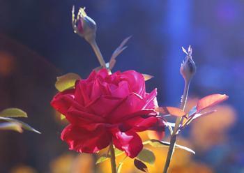 【西风】火红的玫瑰 (小说)