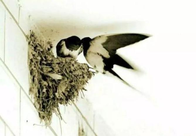 【八一】有燕同室(散文·家园)