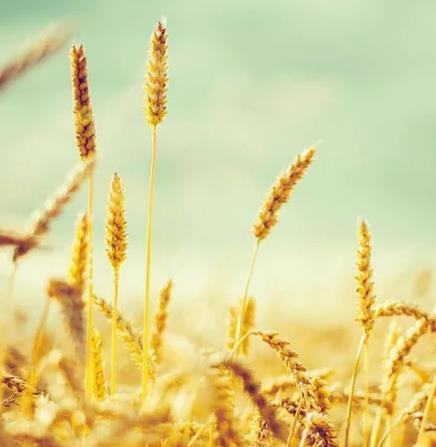【流年·扶】麦子,麦子(征文·散文)