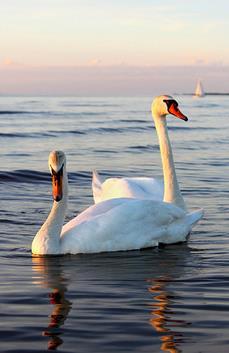 赶到的时候,方圆几十米的水池里已没有了天鹅的身影