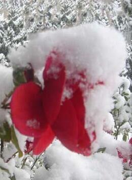 雪中那抹红