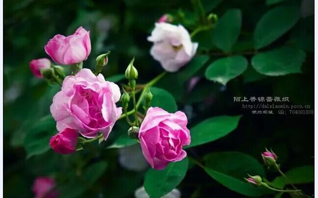 大家认识我吗?我是薇梦儿,蔷薇花的薇,美梦的梦,人名不是名人啊!    --题记       【薇的酸甜苦辣】       说实话,当初妈妈给我取名字的时候怎么想的我还真的不知道,反正我就叫了这个薇字。小时候学过魏巍的《谁是最可爱的人》,我喜欢作者名字中的巍字,于是自作主张把自己的薇字改成了巍,当然这只是在考试卷子和作业本上我自己写的。我只是在班级里过过瘾,用这个巍字,后来班主任说我,这个巍字是男生用的,取义山的巍峨等等,你一个女孩子叫这个多难听,还是用薇吧,蔷薇花多美。那时的