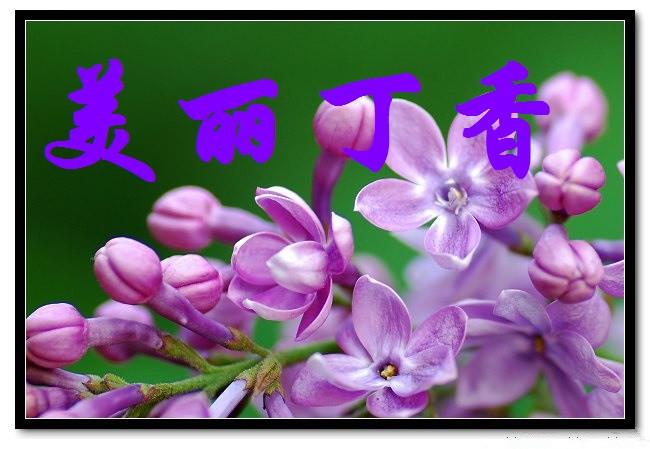 【丁香】在春天与你相约(散文)