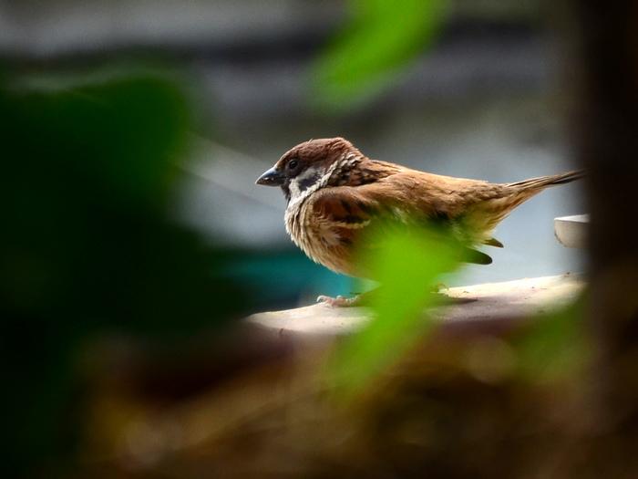 叽叽喳,叽叽喳,天刚蒙蒙亮,起床号还没吹,广播还没响,勤劳的美雀,就在窗外的桂花树上叫个不停、闹个不歇,它仿佛在催促人们:起床了!起床了!又好像在告诉人们,它又要为消除害虫:出发了!出发了!    美雀,是我家窗前桂花树上一只罕见的小鸟,多年来,它一直在这棵树上筑巢磊窝,繁殖后代。说起和美雀的认识,还有一段趣缘呢!    我的外孙女和孙子都很爱鸟,又喜欢喂鸟。每逢节假日,他们总免不了要买上一些饲料,跟着父母亲到市里一些鸽广场去喂一喂那些可爱的鸽子。平时,就是看到一些野外的鸟儿们,他们也是兴奋无