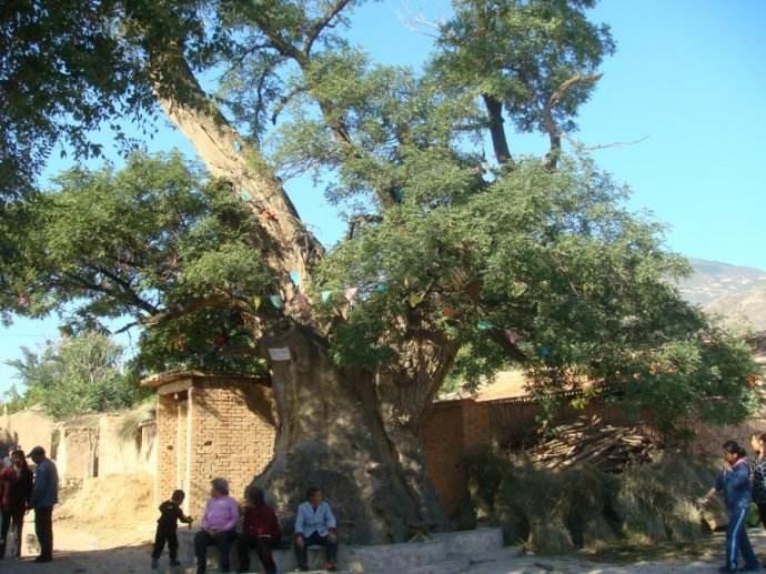 【八一】一棵老榆树(外二首·家园)