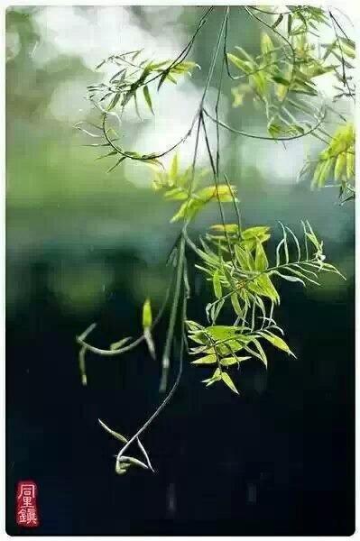 春天柳树发芽燕子归来图片大全