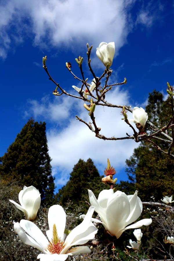 【星月.春】玉兰花开,鸿恩春好(散文)