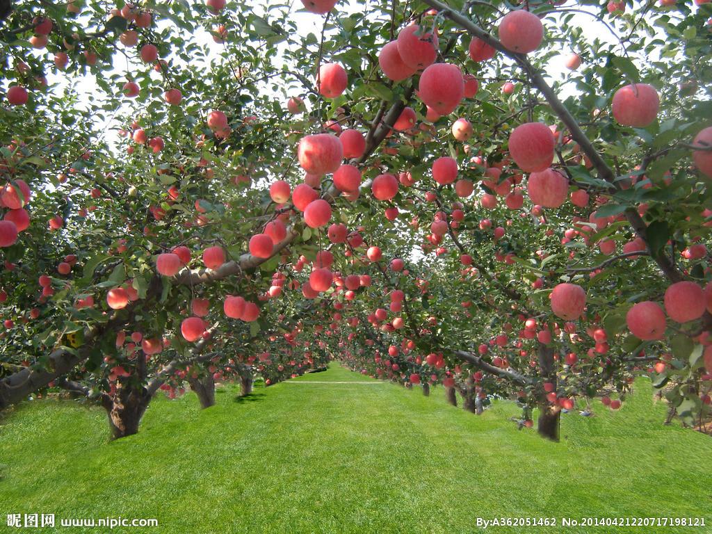 辽南熊岳古城外的故乡,最让我无法忘记的是漫山遍野的苹果园。在那片赭黄色贫瘠的土地上,苹果园一年四季都无异是最美的风景、最诱人的去处。听老人说,这一带栽种苹果已经有上百年的历史,渤海湾是中国六大苹果产区之一,盖州是这个产区里著名的苹果之乡,而熊岳苹果无疑是盖州最好的。