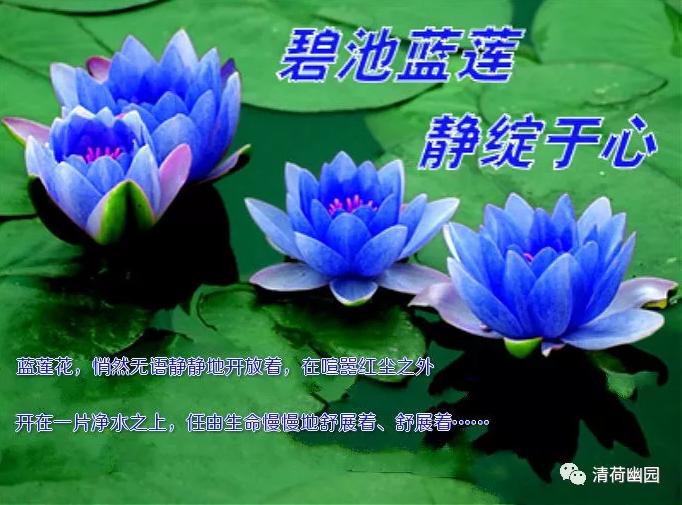 """【荷塘""""夏日风情""""征文】碧池蓝莲,静绽于心(散文)"""