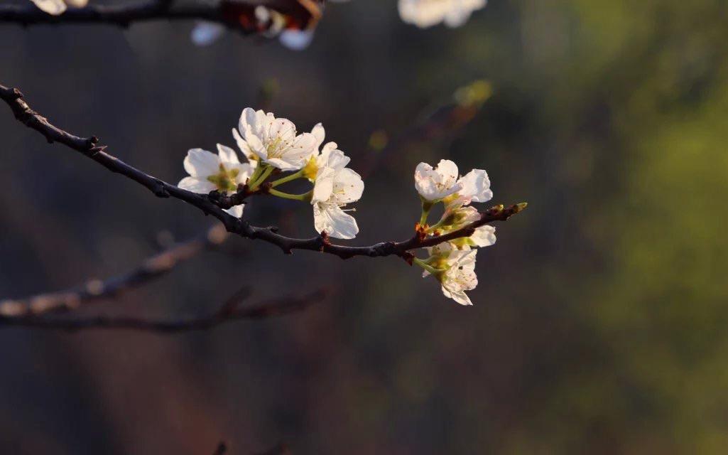 在我们行走的路上,偶然间发现的一朵花,一朵静静开放的野花,就可以结一段尘缘。    虽然,我不能像佛陀一样静坐。可我也源于红尘,我的生命就是这滚滚凡尘,终于看到这一朵花。虽然,它也被灰尘掩盖,但它借着太阳的余晖,光鲜照人。    于是,这样的田野,不再荒凉。这样的人生,有了花的诗意。每一朵花都是一段不假修饰的美好辞令,散发着幽幽香气,有着在水一方的浪漫。花儿有花儿自己的世界,正如蝴蝶的爱慕,它们的诗意里有着原始的情感和欢爱    1、梨花    当春天,打开二月的料峭,我身披带霜的轻寒,上下求索而来。