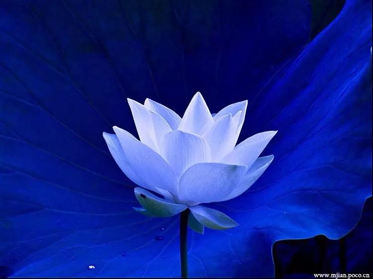佛教禅意莲花手壁纸