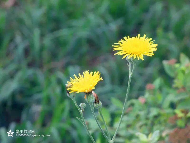 恋人最好的状态就如这两朵蒲公英,在彼此最美的时刻遇见,然后以两朵花