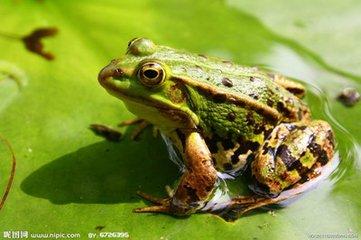 常见的青蛙,它身着一件绿黑相间的花纹衣裳,非常漂亮,它的头略扁而尖