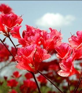 【如云】羊角花的思念(小说)
