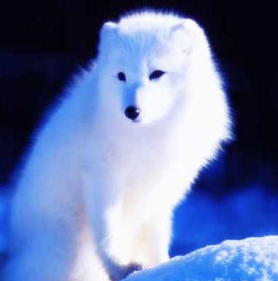 可爱白狐的图片