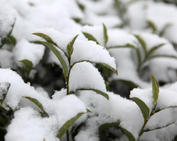 【流年·雪】与雪相约 (征文·散文)