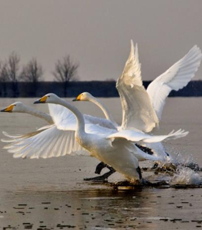 【流年】天鹅与湖  (散文)