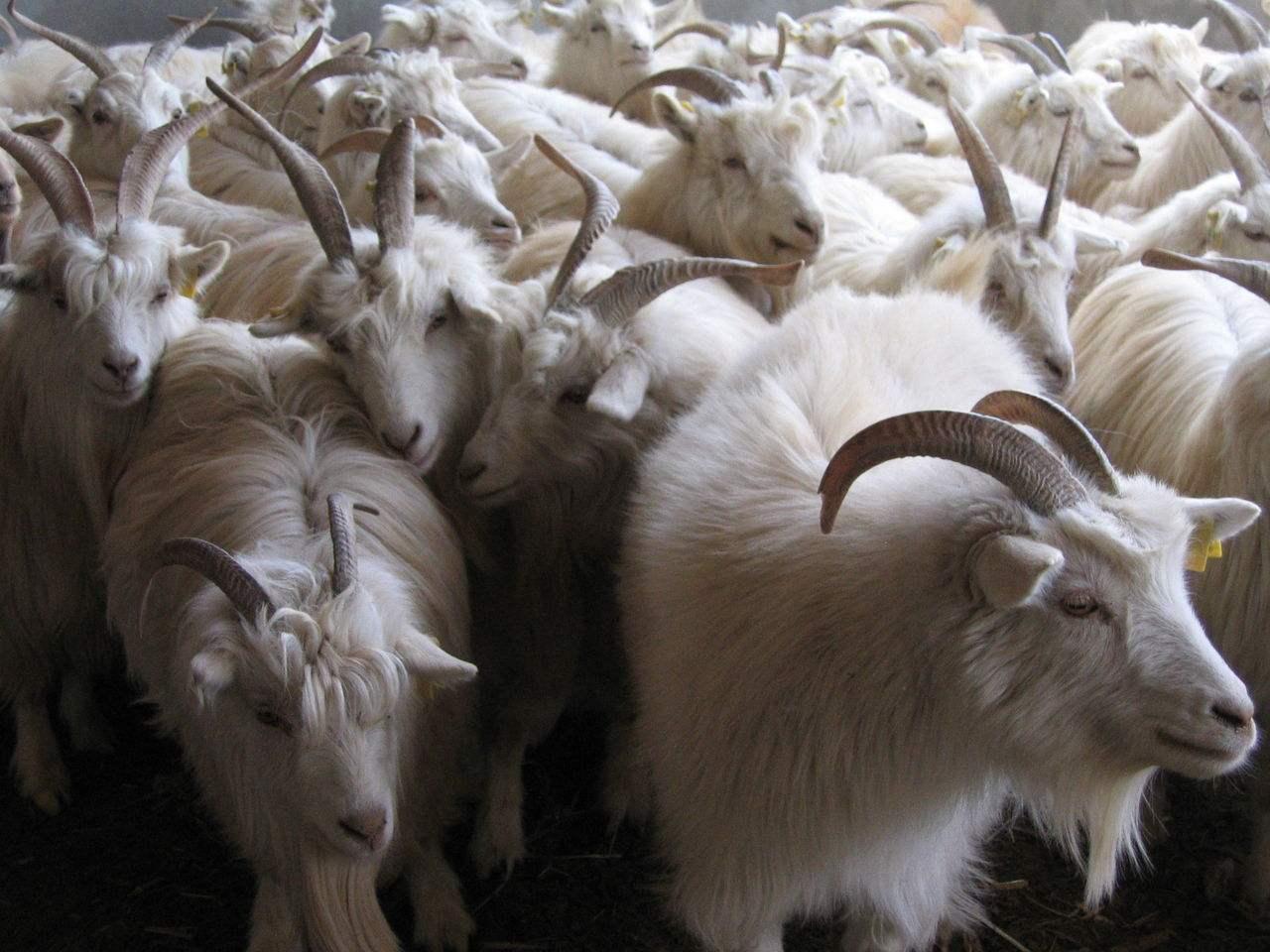 【摆渡·冬】记忆中的山羊(散文)