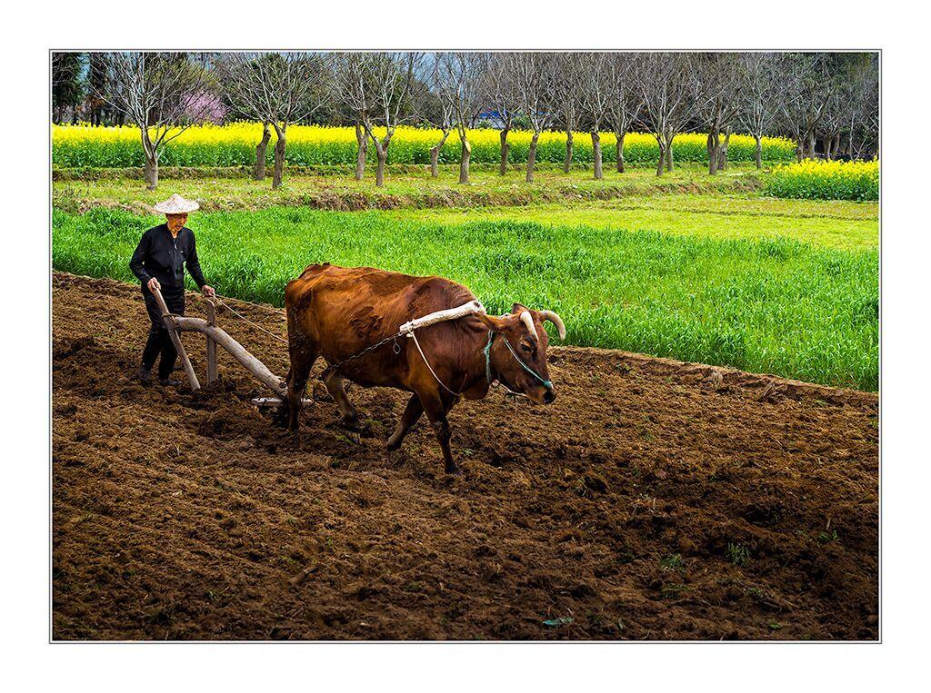 在我的家乡,如果有哪个孩子平时不听话,调皮捣蛋,或者是学习不用功,逃学逃课,那父母肯定会这样说:你这样不争气,是不是长大了想摸牛屁眼?    可见,在一般人眼里,摸牛屁眼是最没有出息的。所谓摸牛屁眼,就是与牛打交道,耕田种地,栽秧割谷,一句话,就是一个与土地为伴,终身耕田种地的农民。    可却偏偏有人愿意一辈子摸牛屁眼,并且把这个行当当做一个嗜好,乐此不疲。    宝祥哥就是这样一个人。听三叔讲,宝祥哥十七岁的时候,大队推荐他到公社棉花采购站去当棉花收购员,那可是那个年代人见人爱的好差事啊。既是吃公