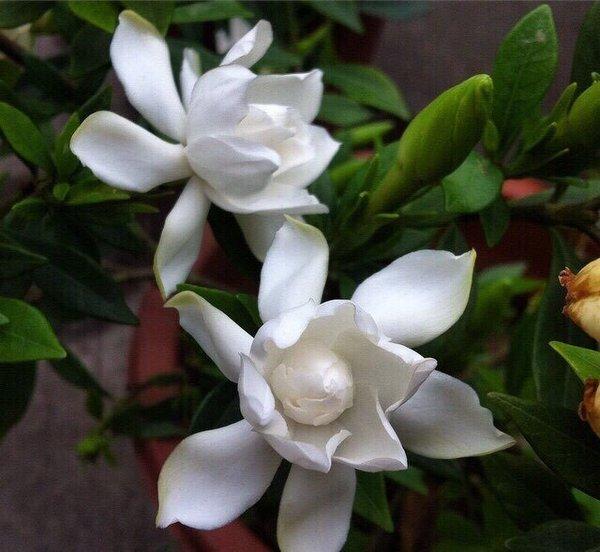 有几年都是我把有蒂的花带回来,然后由我把花从蒂中小心翼翼地拔出来图片